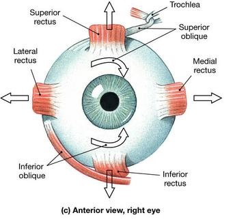 extrinisic and intrinsic muscles of the eye, Human body
