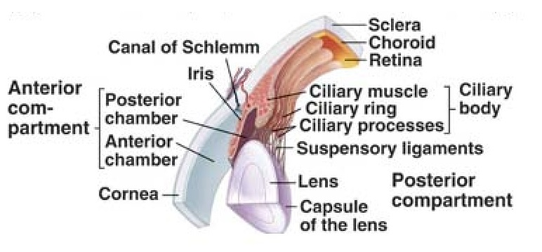 The Ciliary Body
