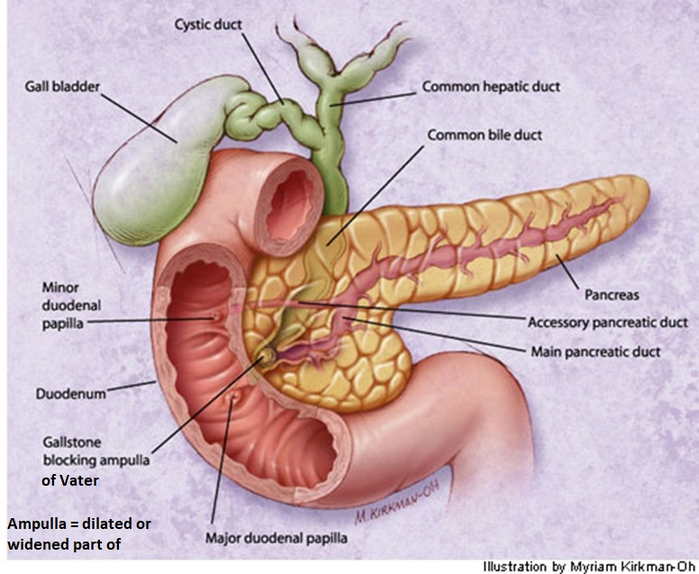 MCQ on anatomy . . pancreatic duct is otherwise . . exocrine part of
