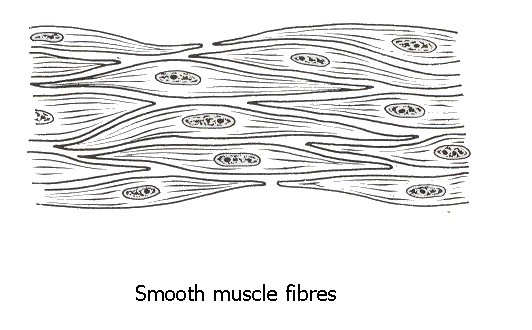 Drawing Smooth Lines List : The muscle tissue