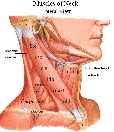 sternocleidomastoid muscle, Human Body